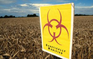 Genetically modified crops.
